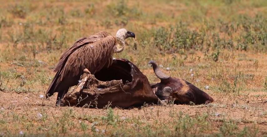 impressionen-serengeti-geier